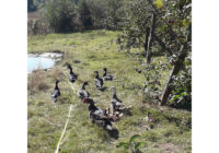famille-canards-2
