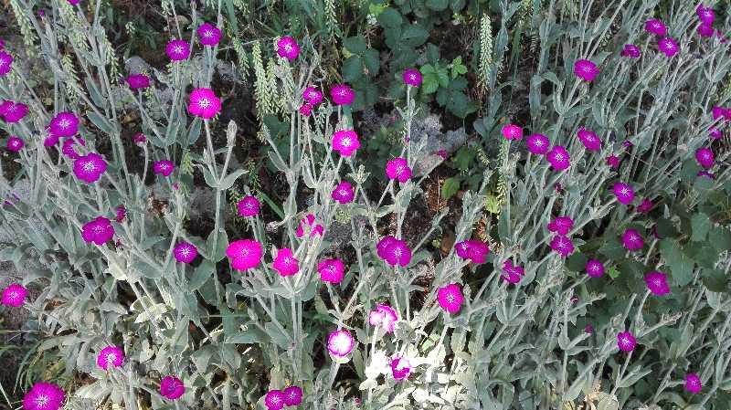 fleurs au fil du lembron taillebois